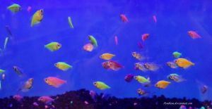 Stock - Glofish (Skirt tetras) 1 by Pendlera