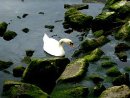 Swan Stock 01 by Aimi-Stock