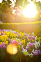 Tulips Under Sunlight by stephiroth