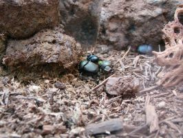 Dung Beetles by stephuhnoids