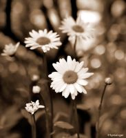 Marguerites au Couchant by hyneige