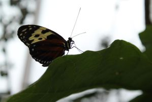 Butterfly 5 by Ezekeil42