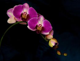 Orchidea by KariLiimatainen