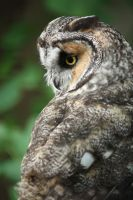 Long Eared Owl by EdgedFeather
