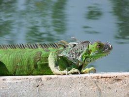 Green iguana in Miami by jelbo