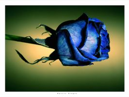 first rose by garrit