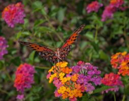 Lantana And Butterfly by drhine