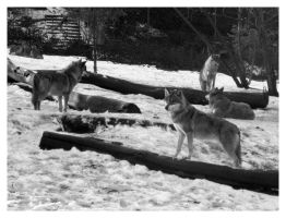 Wolves by Tyrrion