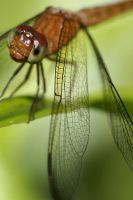 Dragonfly Photo 12 by blookz