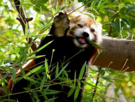 Omnom goes the Red Panda by Caitiekabob