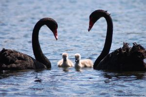 Black Swan Family by Creative-Addict