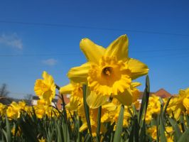 Daffodils by Fraped