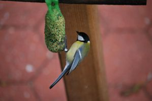 Kohlmeise / Great Tit by bluesgrass