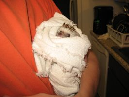 A hedgie after his bath 3 by ChatookaArt