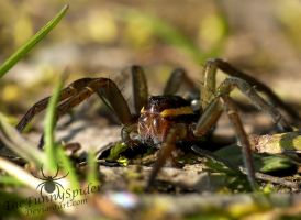 Gerandete Jagdspinne - Dolomedes Fimbriatus by TheFunnySpider
