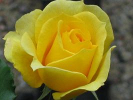 yellow rose by White-Angel-1