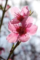 peach blossoms by lenagirl212