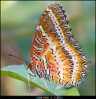 Red Lacewing - I by alokethebloke