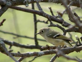 Ruby-Crowned Kinglet by WithoutName