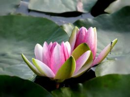 water lily by SpeJa