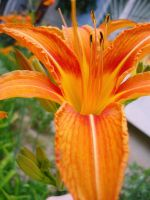Tiger Lily by BeBitzY