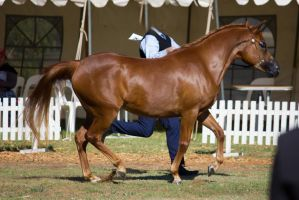 STOCK - 2014 TotR Arabians-6 by fillyrox