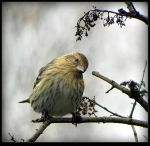 Lovely Pine Siskin by JocelyneR