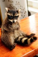 Walter the grumpy raccoon by Meddling-With-Nature