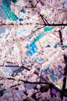 cherry blossoms. by oshkyballs