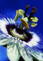 Passionflower V by demony