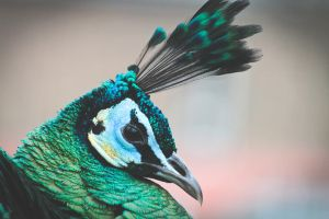 Peacock by lucyparryphotography