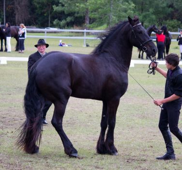 STOCK - Friesian Show 2012-108 by fillyrox