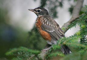 Baby Robin by desmo100