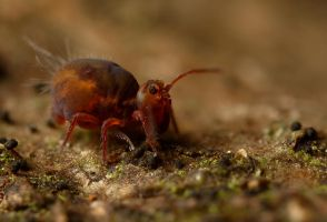 Globular Springtail 16 by Alliec