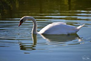 Swan by TaliNatPhotography