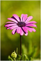 Strong pink by Photographia-Paulo