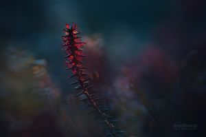 Red Sporangia by JoniNiemela