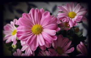 Chrysanthemum - pretty in pink by miss-gardener