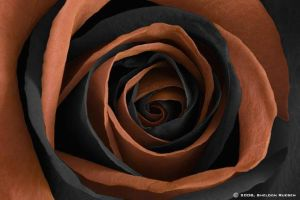 Rose orange and black by Sheldon-Rueben