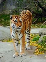 Beautiful Bengal Tiger by DeadNotSleeping5876