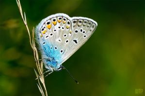 Polyommatus icarus by wmp80