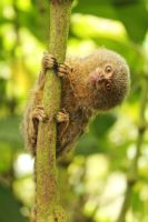 Pygmy Marmoset by margaretrocks