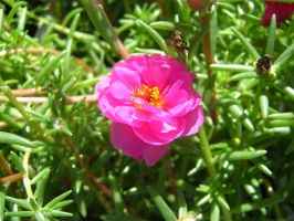 Moss Roses by Neriah-stock