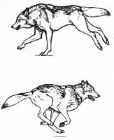 Wolf running sketches by silvercrossfox