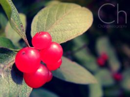 Bird Berries by Champineography