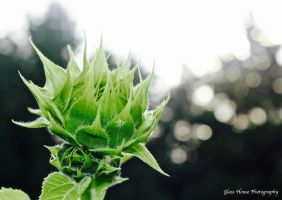 Sunflower Bud by GlassHouse-1