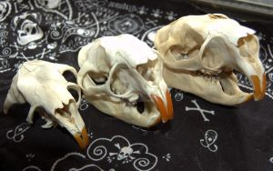 Porcupine skulls progress by ChocolateTrilobite