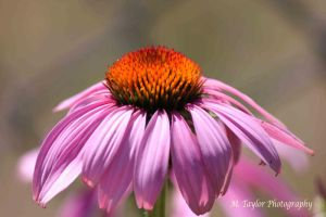 Cone Flower by MTaylorPhotography