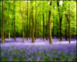 Bluebell Wood by welshdragon