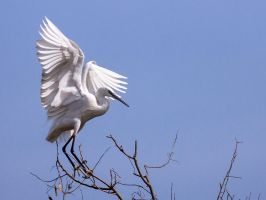 Sunday Egret -IX by InayatShah